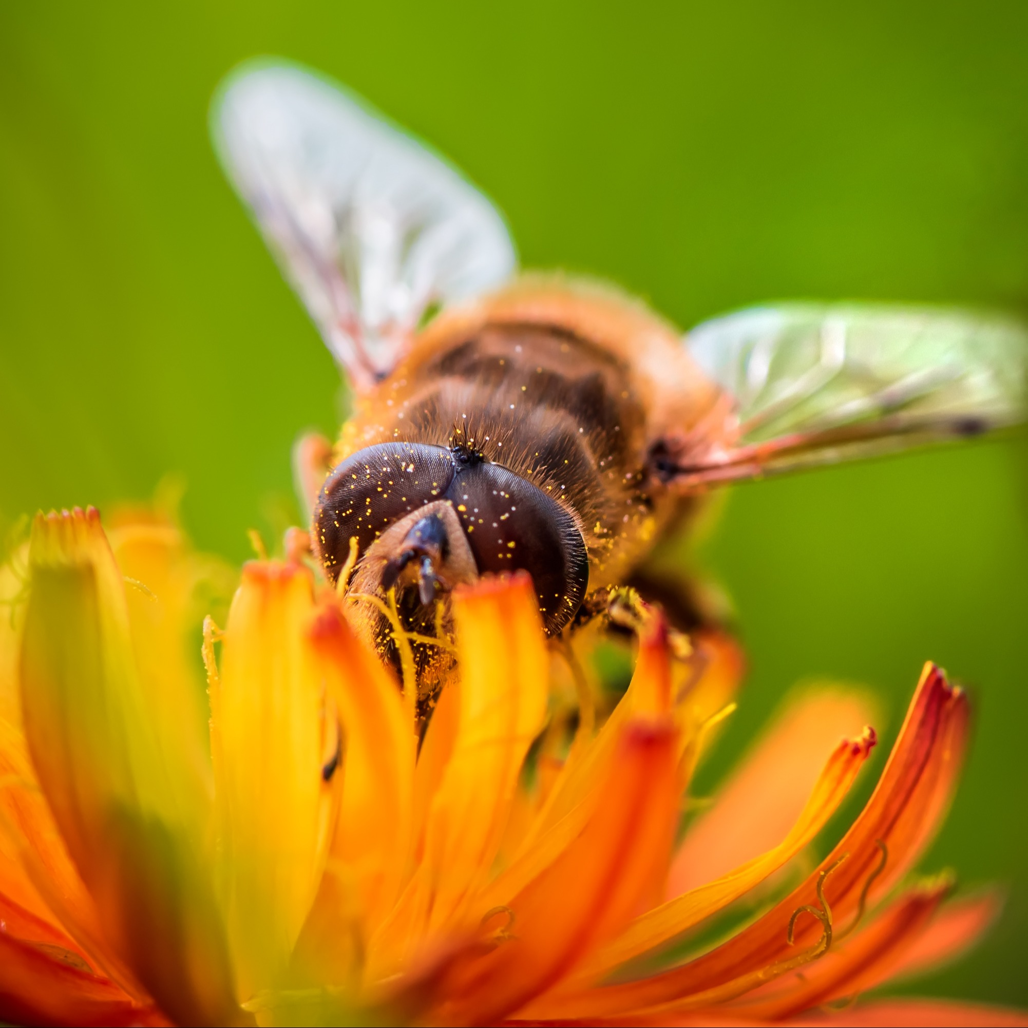 bee-collects-nectar-from-flower-crepis-alpina-ZR4BS8K
